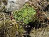 Saxifraga  andersonii hybrid, probably cf. Saxifraga X tukuchensis, along a water-stream, Kothe 3700m-Tangnag 4300m