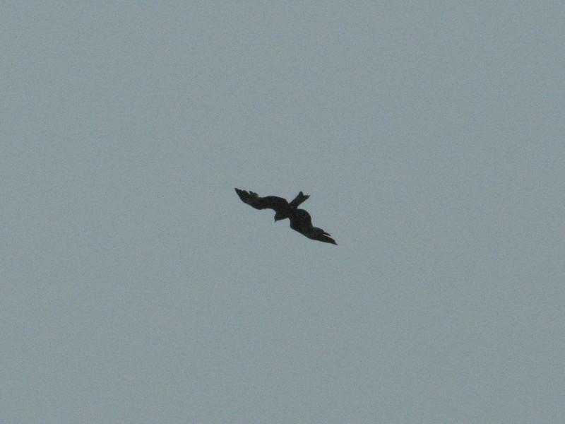 Milvus migrans, Black Kite, (NL: Zwarte Wouw) Kathmandu 1300m
