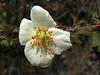 Rosa sericea, Lukla 2775m