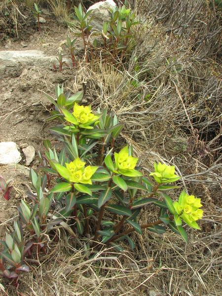 Euphorbia luteoviridis (Long), syn. E. himalayensis (Klotzsch), Monjo 2900m-Namche Bazaar-Tengboche-Deboche 3630m