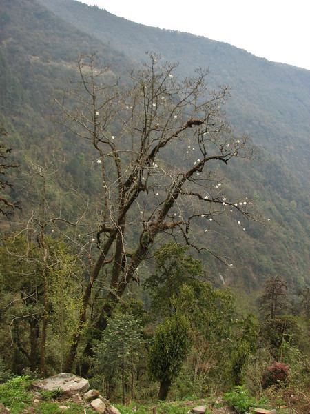 Magnolia campbellii,  Lukla 2775m-Puyan 2725m