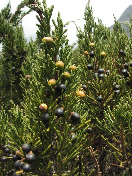 Juniperus indica, Khare 4950m-Kothe 3700m