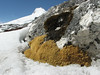 Arenaria polytrichoides, Mera Peak base camp (Mera La) 5350m