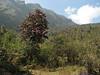 Habitat of Rhododendron arboreum