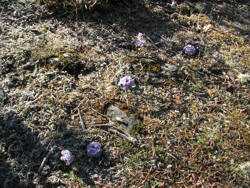 Primula denticulata, after a night frost, Deboche 3630m