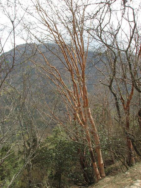 Betula utilis,  Deboche 3650m-Namche Bazaar 3450m