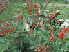 Salvia coccinea, Kathmandu 1300m
