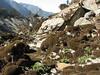 Abies spectabilis, Kothe 3700m-Zatwrala 3800m