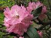 Rhododendron arboreum var. roseum, Monjo 2900m-Namche Bazaar-Tengboche-Deboche 3630m