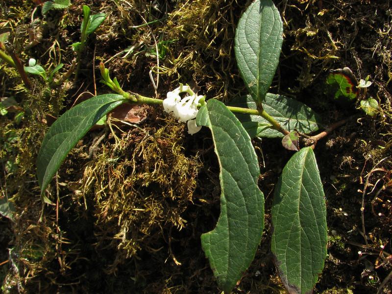 Gaultheria fragrantissima,    Lukla 2800m-Monjo 2900m