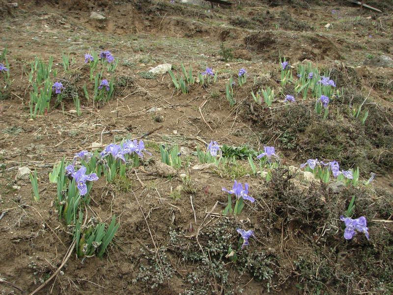 Iris kemaonensis, Namche Bazaar 3450m