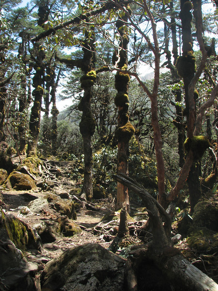 Trunks of Abies gamblei and Rhododendron arboreum, Kharka 4150m-Kothe 3700m