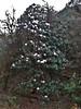 Rhododendron arboreum ssp cinnamomeum var. roseum