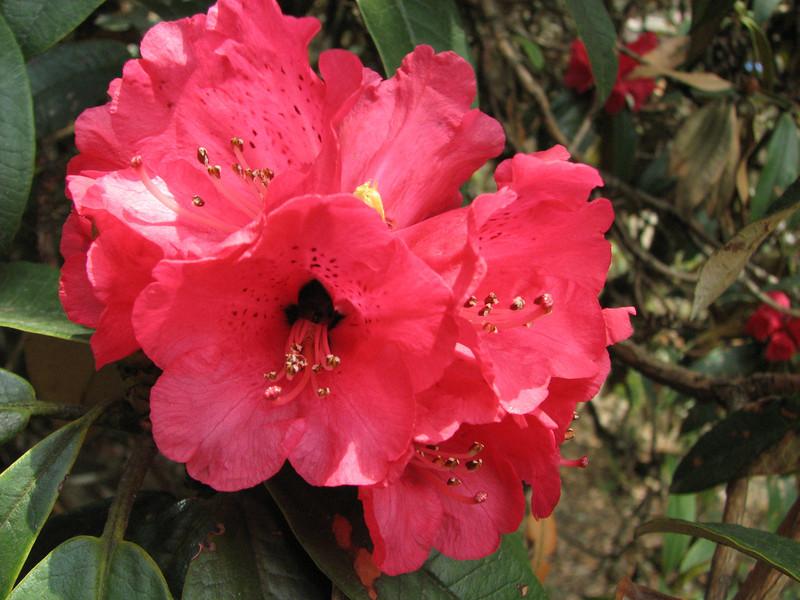 Rhododendron arboreum, Zatwrala 3800m-Lukla 2800m