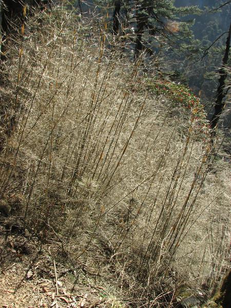 Bambusa cf. nepalensis, Bamboo, Kothe 3700m-Zatwrala 3800m
