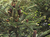 Abies spectabilis, Monjo 2900m-Namche Bazaar-Tengboche-Deboche 3630m