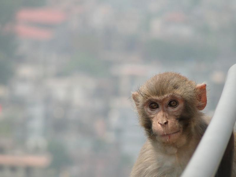 Face of Macaca mulatta, (NL: Resusaap)