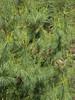 Pinus wallichiana, Lukla 2800m-Monjo 2900m