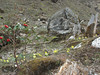 Primula strumosa ssp. strumosa, (syn. P. calderiana ssp. strumosa Richards), Zatwrala 3800m-Lukla 2800m