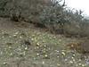 Primula strumosa ssp. strumosa, (syn. P. calderiana ssp. strumosa Richards) and Primula denticulata,  [identification by Pam Eveleigh, Primula World Canada] , Zatwrala 3800m-Lukla 2800m
