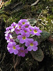 Primula gracilipes