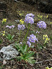 Primula strumosa ssp. strumosa, (syn. P. calderiana ssp. strumosa Richards) and Primula denticulata,  [identification by Pam Eveleigh, Primula World Canada] , Zatwrala 3800m-Lukla 2800m