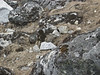 Ochotona roylei, Royle's Pika , (centre picture), Kothe 3700m-Zatwrala 3800m