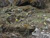 Primula strumosa ssp. strumosa, (syn. P. calderiana ssp. strumosa Richards) [identification by Pam Eveleigh, Primula World Canada] , Zatwrala 3800m-Lukla 2800m