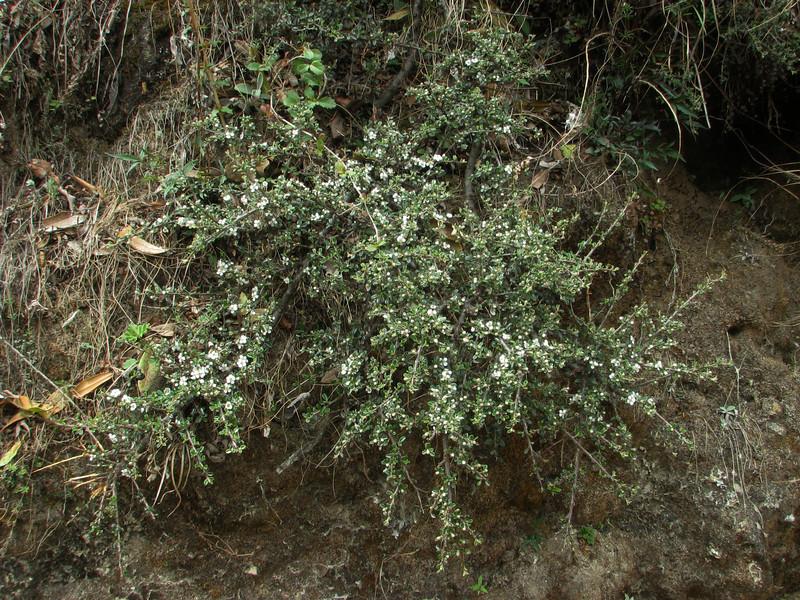 Cotoneaster microphyllus, Lukla 2775m