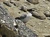Columba leuconota, Snow Pigeon