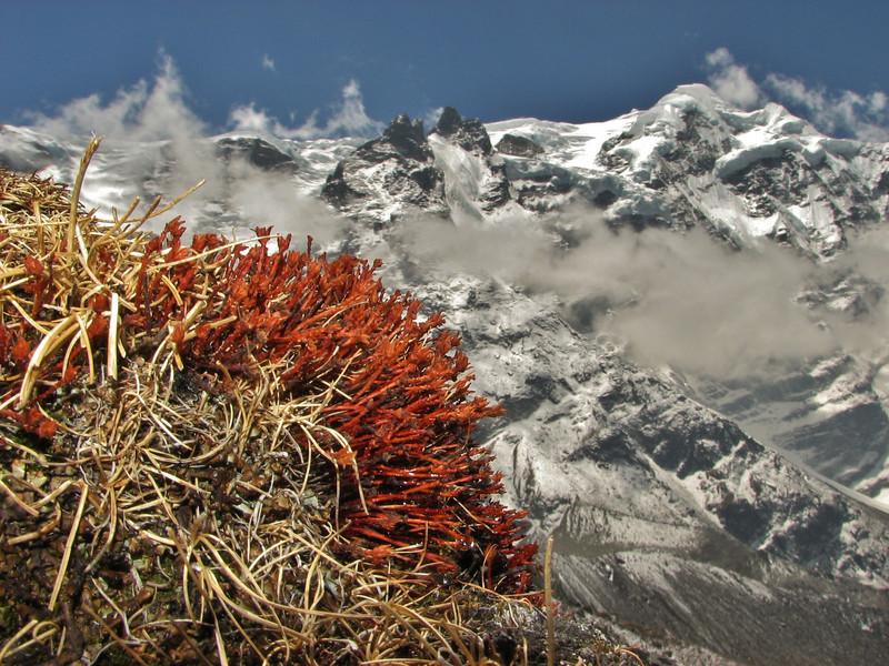 Rhodiola tibetica, near Camp Khare >5000m
