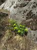 Euphorbia luteoviridis (Long), syn. E. himalayensis (Klotzsch),  Deboche 3650m-Namche Bazaar 3450m