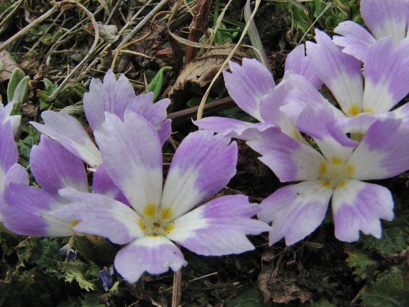 Primula deuteronana, [identification by Pam Eveleigh, Primula World Canada] Zatwrala 3800m-Lukla 2800m