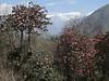 Rhododendron arboreum var rubra, Puyan 2725m-Pangkongma 2850m