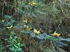 Mahonia napaulensis