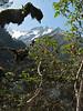 Rhododendron barbatum, Kothe 3700m-Zatwrala 3800m