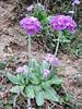 Primula denticulata, (dark coloured form) near Chhukung 4780m