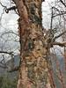 Betula utilis, Monjo 2900m-Namche Bazaar-Tengboche-Deboche 3630m