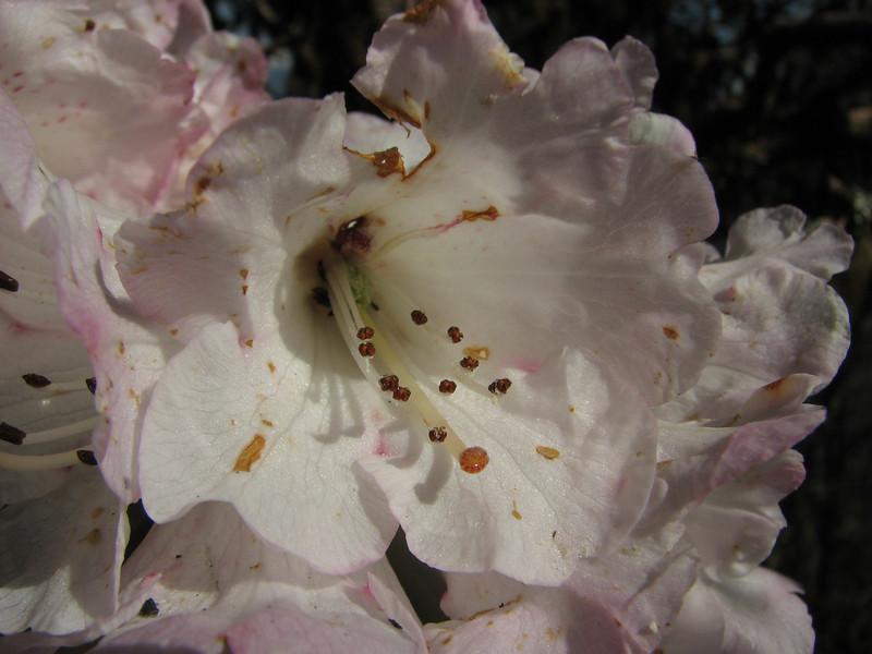 Rhododendron arboreum var. roseum,