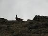 Hemitragus jemlahicus, Himalayan tahr,  Deboche 3650m-Namche Bazaar 3450m