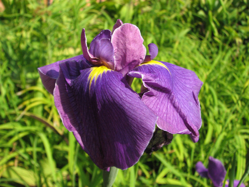 Iris cf. setosa, (native to Russian Far East), Kathmandu 1300m