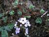 Androsace sarmentosa, Lukla 2800m