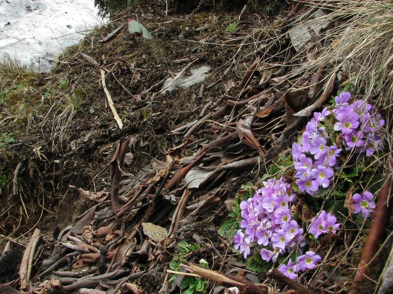 Primula gracilipes, Kothe 3700m-Zatwrala 3800m  [identification by Pam Eveleigh, Primula World Canada]