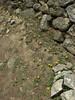 Taraxacum spec.  Deboche 3650m-Namche Bazaar 3450m