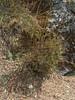 Berberis spec.  Deboche 3650m