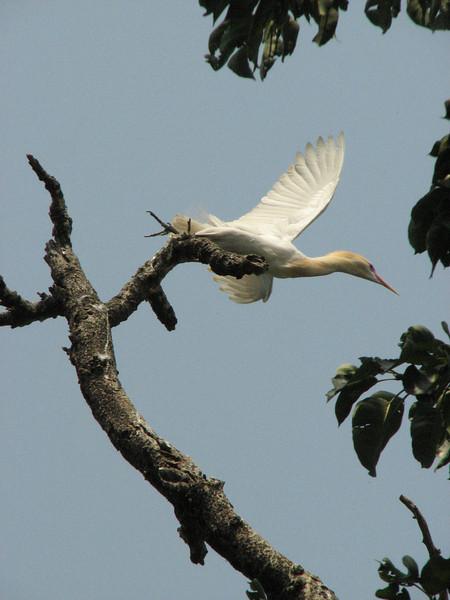 Bubulcus ibis, (NL:koereiger)