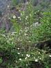 Rosa sericea, Lukla 2800m-Monjo 2900m