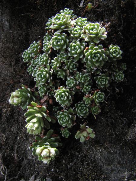 Saxifraga andersonii, Kothe 3700m-Zatwrala 3800m