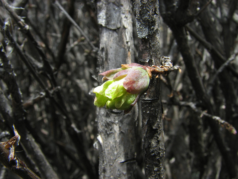 Lonicera hispida var. setosa, Base camp Island Peak 5000m-Deboche 3650m