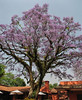 Jacaranda mimosifolia (native to South America), Kathmandu 1300m